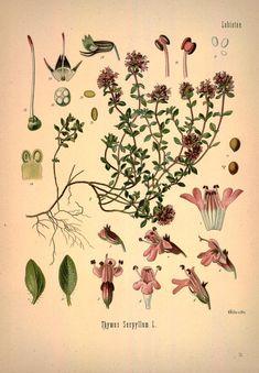 Thyme, Thymian, Köhler's Medizinal-Pflanzen in naturgetreuen Abbildungen mit kurz erläuterndem Texte : - Biodiversity Heritage Library