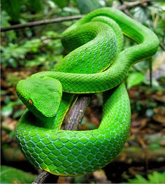Green pit viper - the kind I want in the tattoo on my arm.