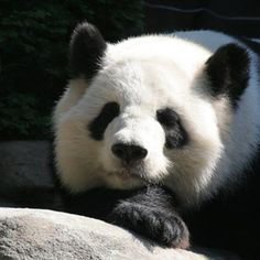 People recognize panda bears by their black-and-white markings.