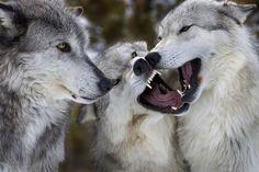 Wolves 1 | Jeremy Weber | Flickr