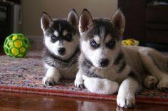 Cute Huskies!!