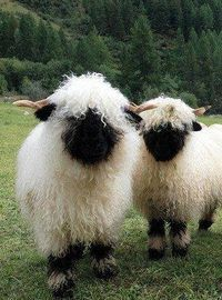 Valais Blacknose sheep. That tongue !...