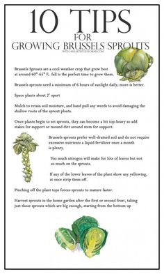 10 Tips for Growing Brussels Sprouts - A Healthy Life For Me #OrganicGardening #BrusselsSprouts