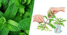 Una vera meraviglia della botanica: la menta è facile da piantare e mantenere. Questa pianta [Leggi Tutto...]