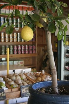 Lemon tree at pots!