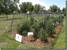 Using net houses to keep insect pests away from vegetable crops.