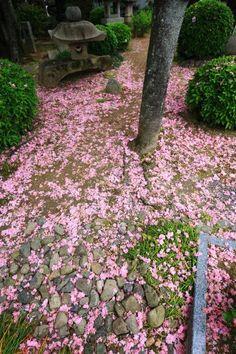 京都本満寺の散り桜のピンクの絨毯