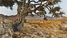 Argan trees can live up to 200 years in this harsh semi-desert climate. www.victoriaakkari.com