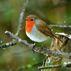 Bill Oddie's Birds - Information about Robins and feeding birds
