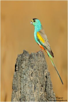 emuwren: The Golden-shouldered Parrot (Psephotus chrysopterygius) is a rare bird of southern Cape York Peninsular, in Queensland, Australia .