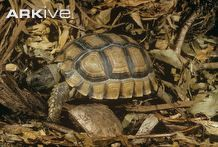 A search results list on Arkive of Reptiles Types Of Turtles, Tortoise Care, Turtle Love, Tortoises, Pets, Whistles, Sewing Ideas, Craft, Animals