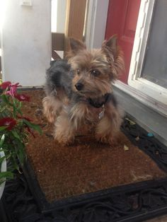 154 Best Yorkies Who Needs A Home Images Animal Rescue Animal