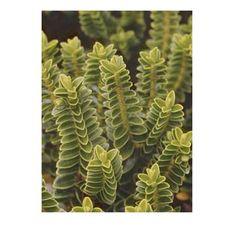Buy Hebe odora buxifolia (Shrubby Veronica) in the UK
