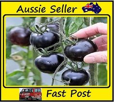 Black Cherry Tomato Plant New!!! 100 Seed/Pack Color 4
