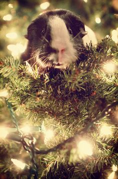 I feel like decorating your tree with guinea pigs might be a bad idea :)