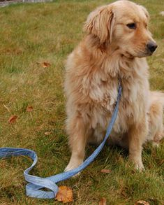 Leash made from recycled denim. I love this idea.  And the golden girl just makes the pic