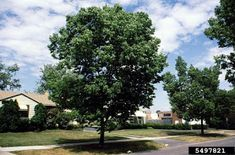 The Common Hackberry - celtis occidentalis , is a deciduous tree or sometimes large shrub. Cedar Waxwing, Butterfly Species, Shade Trees, Deciduous Trees, Shrubs, Backyard, Meet, Plants, Inspiration
