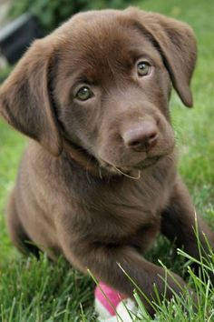 Labrador Retriever puppies are the cutest things on earth.  Makes me miss my dogs.  Stormy especially.