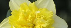 Narcissus Daffodil Full House  Photo at Davesgarden.com by bulbspecialist.  Grown and loved at sunnybrookgardensltd.com