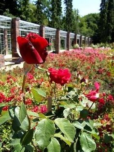 The Rose Garden in Szczecin travel-and-places Beautiful World, Beautiful Gardens, Friday Night Lights, World Images, I Want To Travel, A Whole New World, Garden Spaces, Eastern Europe, Native Plants