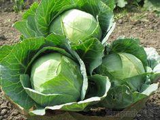 Все ли вы знаете о капусте? 13 важных вопросов о семенах, рассаде и уходе
