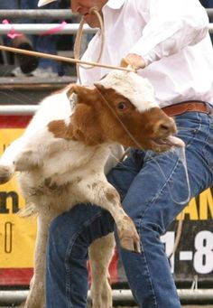 The Vancouver Humane Society is urging the Calgary Stampede to drop calf-roping from its rodeo program. It's a cruel event in which terrifie...