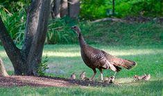 Wild Turkey Fact Sheet