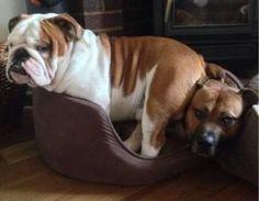 Baggy Bulldogs by earlene