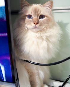 Poppy dearest why are you hiding? #popcorn #poppylove #birma #birman #breeder #catsofinstagram #chokladochvanilj #pinkalicious #welovecats #we_love_cats #bestcats_oftheworld #excellent_cats #birmavanner #birman_feature