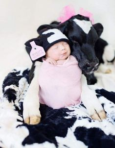 Adorable cow themed baby shoot.