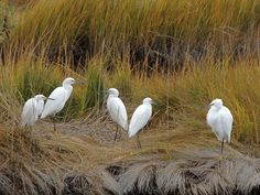 Snowy Egrets on fall grasses. Photo by Nancy Tully.