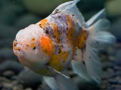 oranda goldfish   Calico Oranda Goldfish