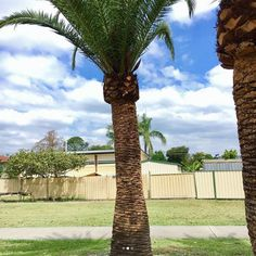 Palm trees form a quintessential part of the Gold Coast Landscape. Canary Island Date Palms (Phoenix canariensis) were amongst the earliest landscape garden plantings on the Gold Coast seaside parks. These, along with other varieties are often used to create a feature or a focal point in Gold...
