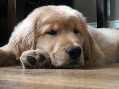 Golden Retriever Puppy - SO Tucker when he was a baby!!!