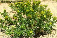 Flora Advena de Chile: Chamomilla suaveolens (Pursh) Rydb.: Manzanilla