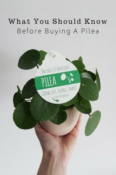 Should Know Before Buying Pilea Peperomioides Pilea Peperomioides care won't have secrets anymore!Pilea Peperomioides care won't have secrets anymore! Garden Care, Potted Plants, Garden Plants, Foliage Plants, Flowering Plants, Cool Indoor Plants, Plantas Indoor, Calathea, Peperomia Plant