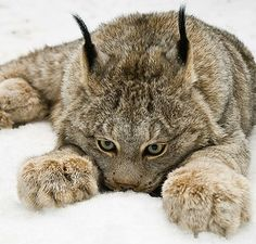 Canada Lynx shows off paws