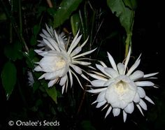 These Orchid Cactus plants get pure white flowers,the size of a dinner plate which open as soon as the sun goes down and stay open all night, closing in the morning.It blooms in waves during the summer months and the blooms have a wonderful, unforgetable fragrance.