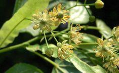 Feldahorn Garten Hecke Pflanzen Naturgarten Gartengestaltung