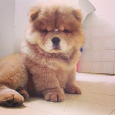 31 Chow Chow Puppies To Make Your Day A Little Fuzzier