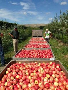 Harvesting apples, Hawkes Bay, New Zealand
