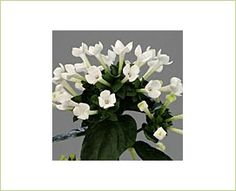 """Royal daphne white"" Bouvardia"