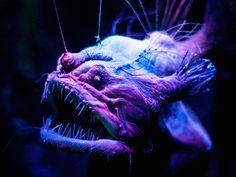 Un véhicule téléguidé est parvenu à filmer une créature rarissime dans les profondeurs des eaux californiennes, rapporte le Monterey Bay Aquarium Research Institute.