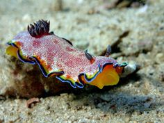 Nudibranch Goniobranchus albopunctatus, Madagascar by James Chasty on 500px