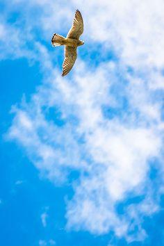Falco Tinnunculus photographed near Galati City. @ andrei raceala