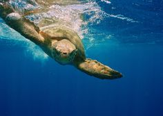 Tartaruga Flatback ou Cabeçuda