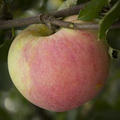Pommier Goodland - Une pomme sucrée et hâtive  Très rustique, pommier zoné 2.Pomme semi-sucrée à la peau couleur crème avec un petit blush rose. Bonne grosseur. Zoné 2. Se conserve 20 semaines. Récolte a la fin août.