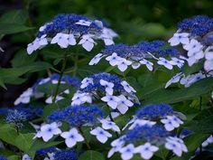 Hydrangea macrophylla fo. normalis   ガクアジサイ Hydrangea macrop…   Flickr