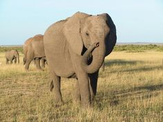 Elephants Communicate in Sophisticated Sign Language, Researchers Say - and even have a sense of humor!  :)