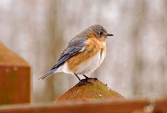 bluebird- pic taken by mom